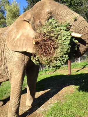 Extra Christmas Trees Turn into Animal Treats