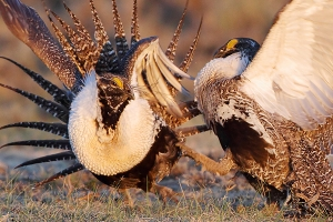 Review of Sage-Grouse Management Plans Risks Harm to Bird