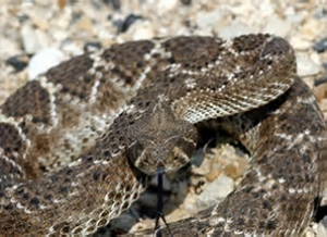 Advocates for Snake Preservation Launch Campaign to Stop Rattlesnake Slaughter at Roundups