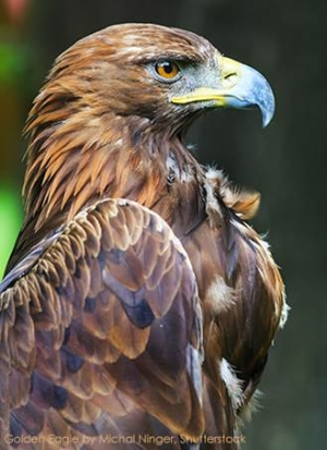 American Bird Conservancy to Take Legal Action Over  FWS 30-Year Eagle Kill Rule
