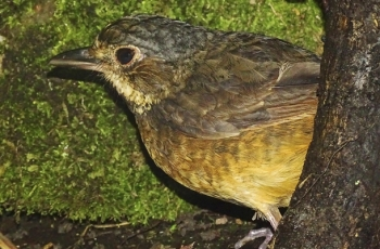 Scientists Rediscover Venezuelan Bird Not Seen in 60 Years