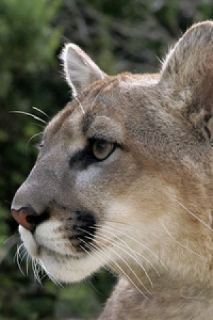 Mountain Lions in Our Community: Conservation Leaders Converge for Solutions Regarding Big Cats versus Humans