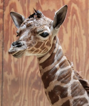 Giraffe Calf Born at San Francisco Zoo & Gardens