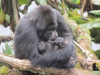 Rare Mountain Gorilla Twins Born in Volcanoes National Park, Rwanda