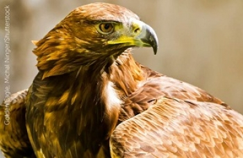 Proposed Eagle Management Plan Could Have Deadly Consequences
