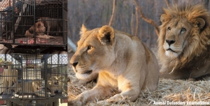 Lion family reunited in Africa Rescued against all the odds, hundreds of miles apart in South America, circus lions crossed the globe to become a pride again, home in Africa
