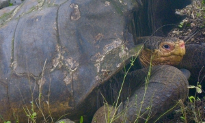 How we rediscovered 'extinct' giant tortoises in the Galápagos Islands - and how to save them