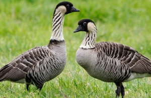 Endangered Hawaiian Geese at Risk From Disease Spread by Feral Cats, Study Finds